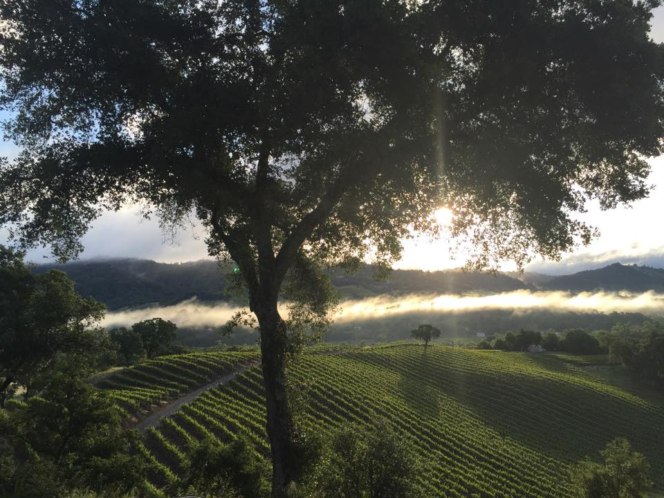 Spring mist over the vineyard